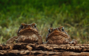Two_toads