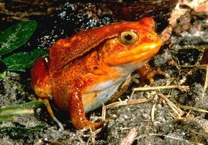 Tomato_frog